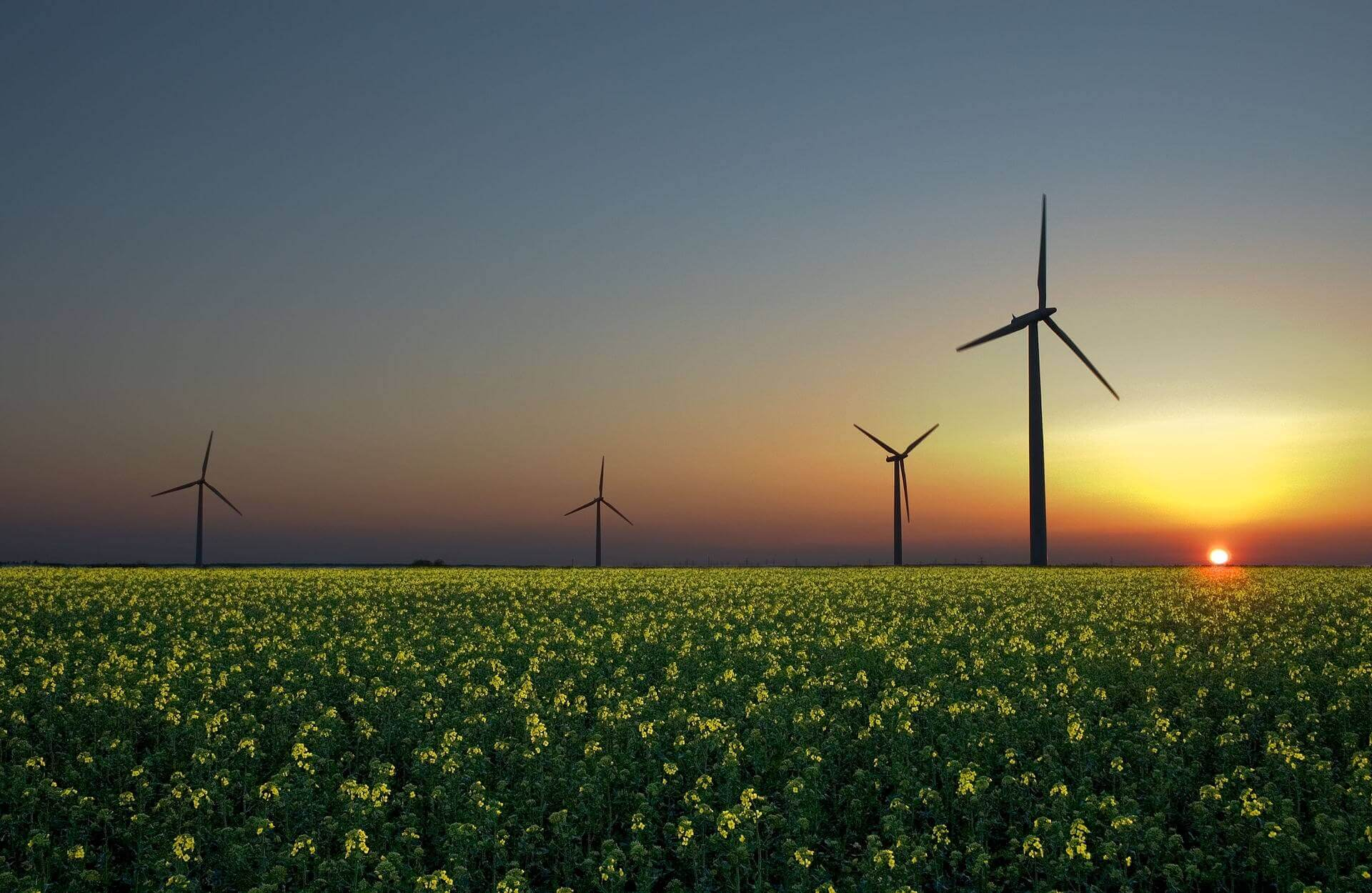 Silhouette of wind turbines seen through a field of yellow flowers with a setting sun in the distance.