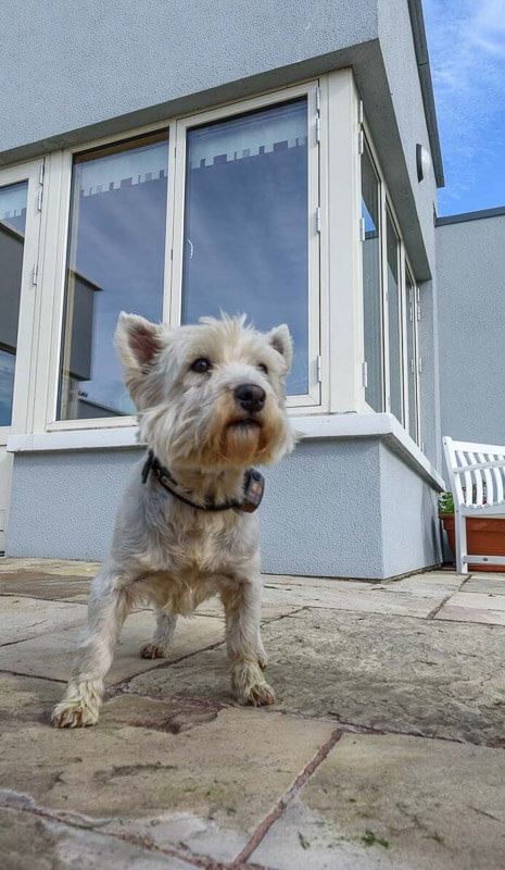 Pet dog standing on external terrace with aluclad triple glazed corner window.